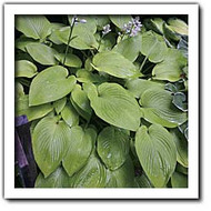 Miki Hosta - 4.5 Inch Container