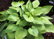 'Miki' Hosta From NH Hostas