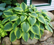 'Satisfaction' Hosta From NH Hostas