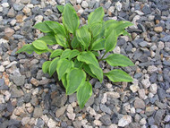 Paradise Sunset Hosta - 3 Inch Container