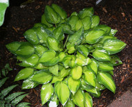 'Tick Tock' Hosta From NH Hostas