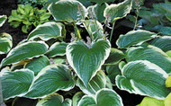Gone With the Wind Hosta - 4.5 Inch Container