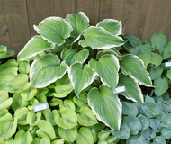 'Gone With the Wind' Hosta From NH Hostas