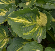 'Lakeside Paisley Print' Hosta Courtesy of Walters Gardens