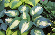 Hudson Bay Hosta PP23598 - 4.5 Inch Container