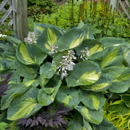 'Hudson Bay' Hosta Courtesy of Walters Gardens