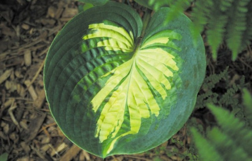 'Simply Sharon' Hosta Courtesy of Shady Oaks Nursery