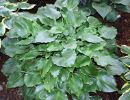 Grand Slam Hosta - 4.5 Inch Container