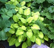 Emerald Tiara Hosta - 3 Inch Container