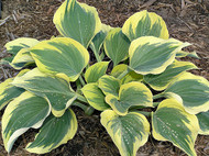'Ivory Coast' Hosta Courtesy of Walters Gardens