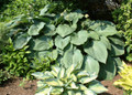 'Blue Angel' Hosta From NH Hostas