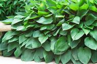 'Fortunei Hyacinthina' Hosta