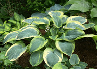'Great Arrival' Hosta From NH Hostas