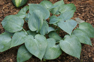 Bulletproof Hosta - 4.5 Inch Container