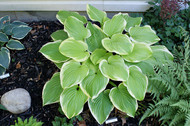 Frozen Margarita Hosta - 4.5 Inch Container