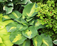 St Paul Hosta - 4.5 Inch Container