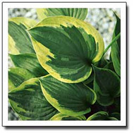 Dust Devil Hosta - 4.5 Inch Container