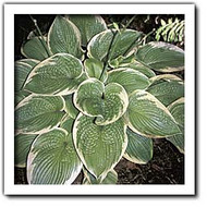 'Spartan Glory' Hosta Courtesy of Q&Z Nursery