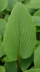 'Katsuragawa Beni' Hosta From NH Hostas