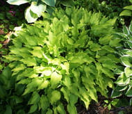 Royalty Hosta - 3 Inch Container