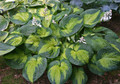 'Brother Stefan' Hosta Courtesy of Walters Gardens