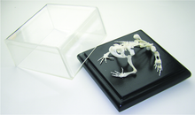Skeleton - Toad