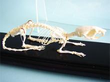Skeleton - Rat