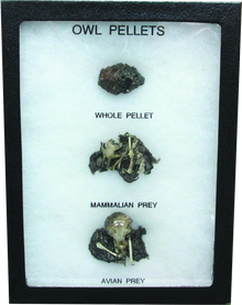 Owl Pellets Display Mount