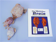 Brain Comparative Dissection Kit