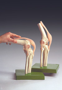 Functional Model of the Knee Joint