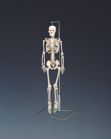 Mr. Thrifty Flexible Skeleton with Spinal Nerves