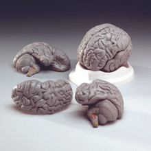 Budget Brain Model