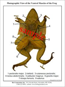 Dissection Key Card - Frog