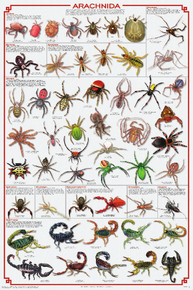 Display Chart - Arachnida