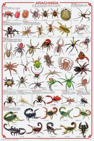 Display Chart - Arachnida