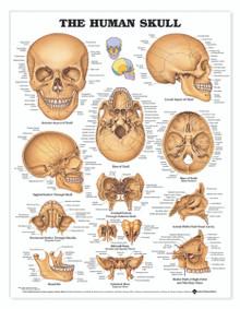 Reference Chart - Human Skull