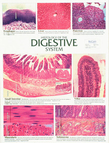 Wall Chart - Digestive System