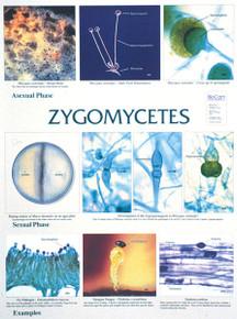 Wall Chart - Zygomycetes