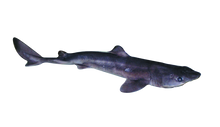 Pregnant Single Dogfish Shark