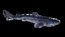 Pregnant Single Dogfish Shark