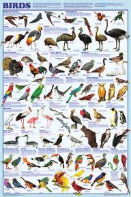 Display Chart - Birds