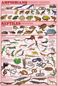Display Chart - Amphibian