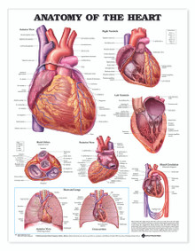 Reference Chart - Anatomy of the Heart