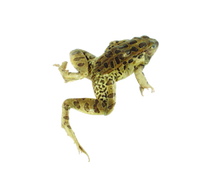 """3.5"""" - 4"""" Triple Leopard Frog Pail"""