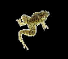"5"" + Double Leopard Frog"
