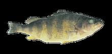 """7"""" - 9"""" Plain Yellow Perch"""