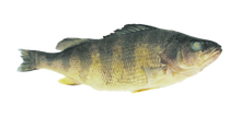 "9""- 12"" Single Yellow Perch"