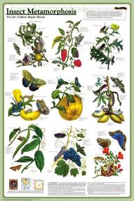 Display Chart - Insect Metamorphosis
