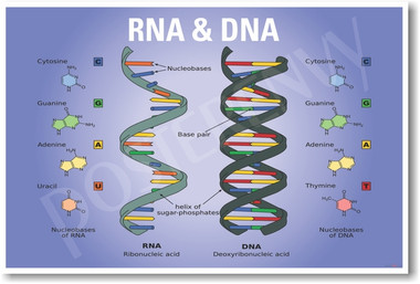DNA RNA NEW CLASSROOM BIOLOGY SCIENCE POSTER