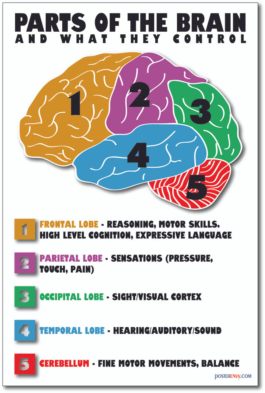 PosterEnvy - Parts of the Brain - NEW Science Classroom Biology ...